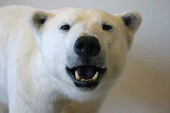 A taxidermied polar bear stands with it's mouth open wide.
