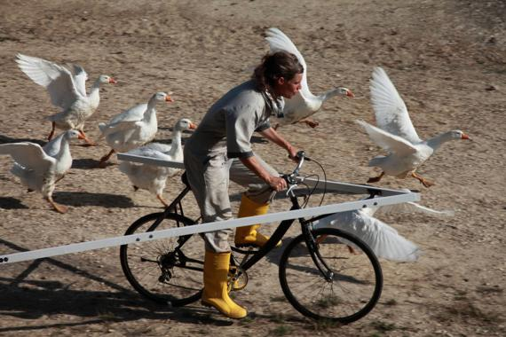 artist training moon geese in V flying formation
